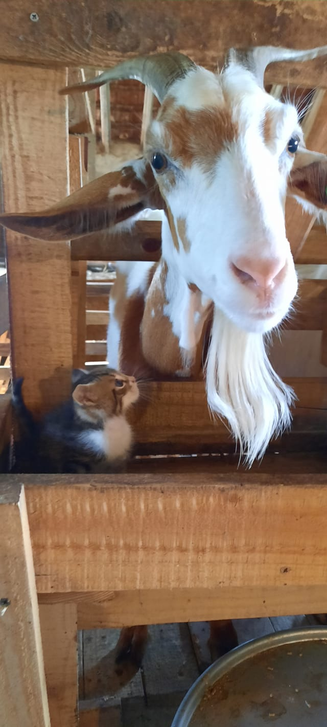 """Коза и малко коте от Козеферма """"Каряна"""""""